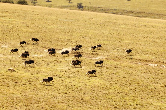 Eastern Cape Scenery Wildebeest